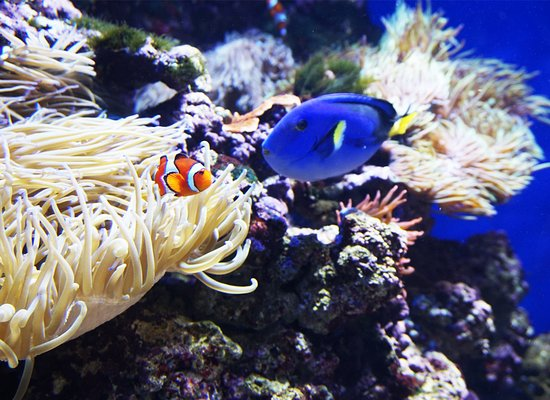 Clown fish and blue tang fish in anemone picture of s e for Blue clown fish