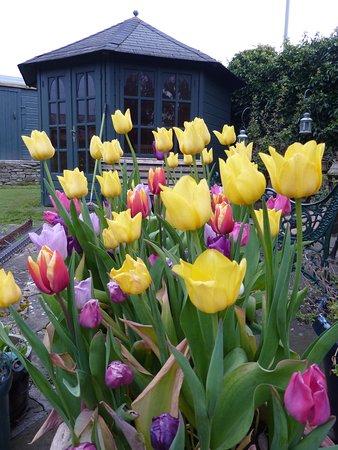 Карнусти, UK: Tulips in the garden