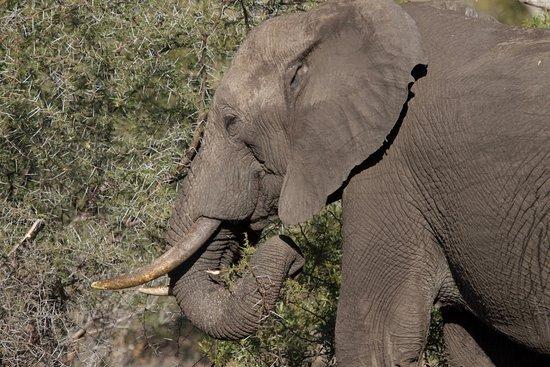 Sabie, Afrika Selatan: Elephant in Sabi Sabi