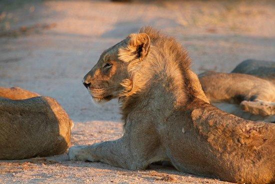 Sabie, Afrika Selatan: Lion in Sabi Sabi