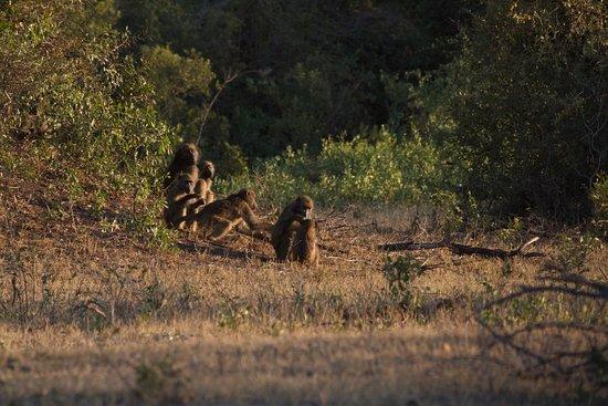 Sabie, Afrika Selatan: Baboons in Sabi Sabi