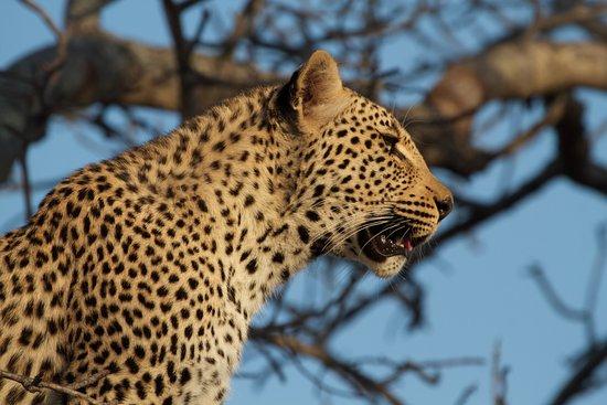 Sabie, Afrika Selatan: Leopard in Sabi Sabi