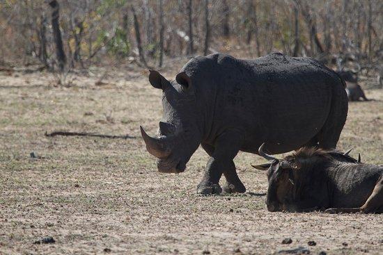 Sabie, Güney Afrika: Rhino in Sabi Sabi