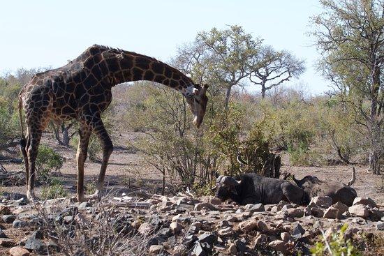 Sabie, África do Sul: Giraffe in Sabi Sabi