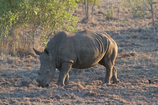 Sabie, África do Sul: Rhino in Sabi Sabi