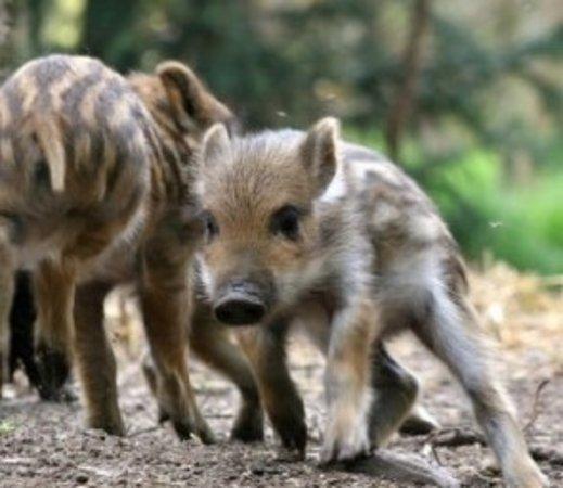 Langenthal, Zwitserland: Filhote de porco selvagem