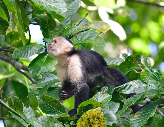 TikiVillas Rainforest Lodge: Capuchin monkey