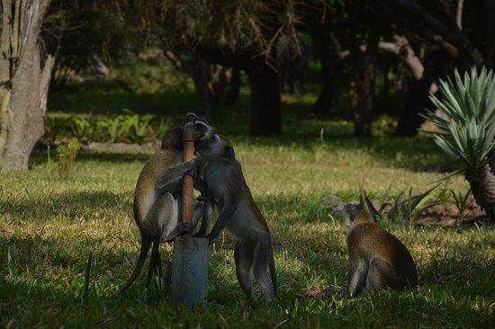 Kutani, Tanzania: funny monkeys :)