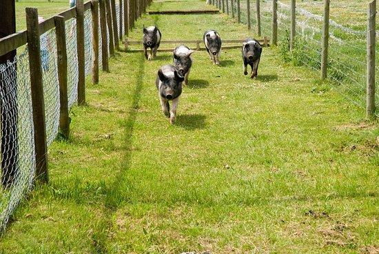 Cholderton, UK: Pig Race!