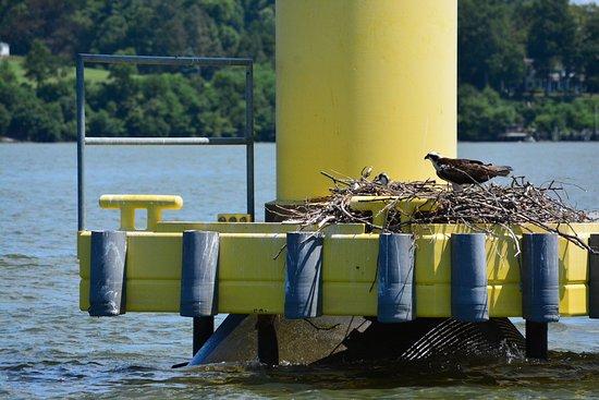Chesapeake City, MD: Osprey nest