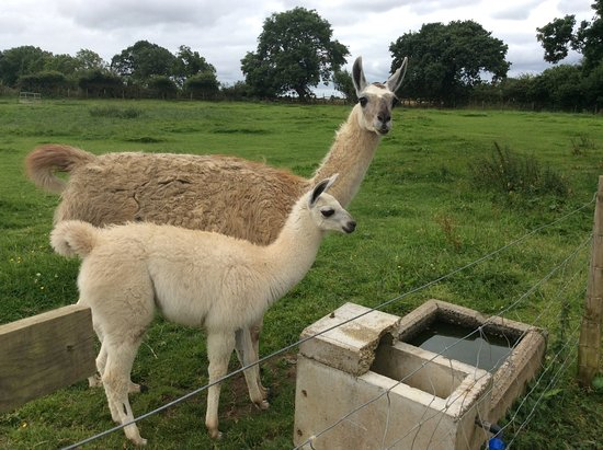 Morpeth, UK: Llamas