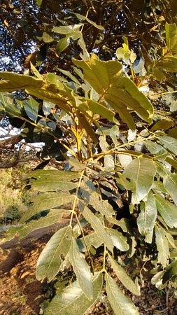 Detalhe das folhas do Ingazeiro de Passa Quatro