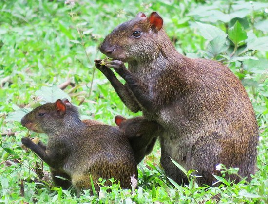 Kumbha Mela: Agouti and kits on the grounds.  Ecuadorian name: Watusa
