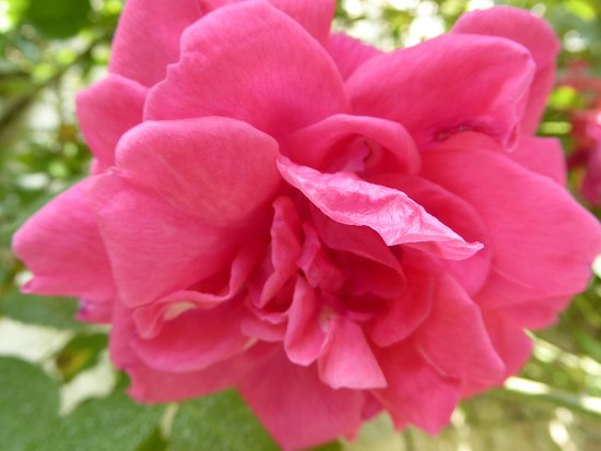 Chedigny, France : zoom rose