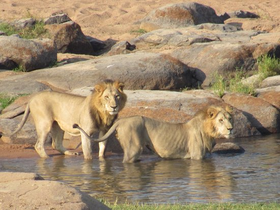Ruaha River Lodge: two lions across the river seen from the main lodge