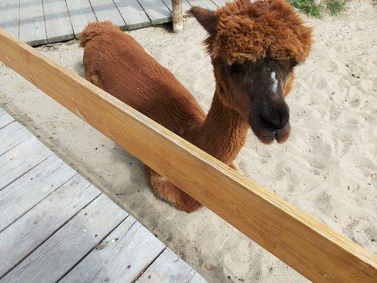 Carcross, Kanada: Alpaca, a quaint animal.