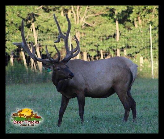 Cedar Springs, MI: Huge Bull Elk