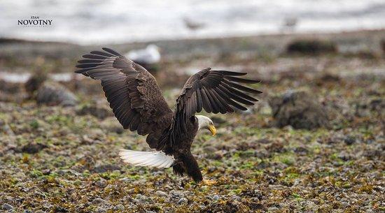 Campbell River, Kanada: Eagle by Quadra Island