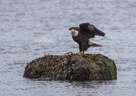 Eagle by Campbell River