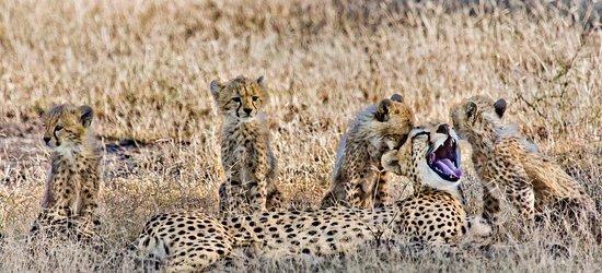 Ndutu Safari Lodge: Cheetah family seen in Ndutu