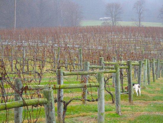 Huntly, VA: Vineyard in December