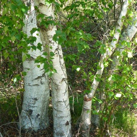 Parker River National Wildlife Refuge: Birches in the Wildlife Refuge