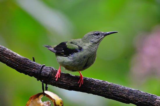 La Virgen, Costa Rica: Female Red-Legged Honeycreeper