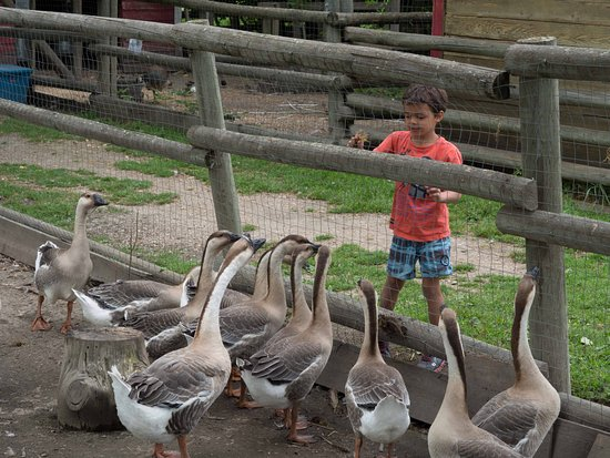 Historic O'Keefe Ranch: Feeding the geese
