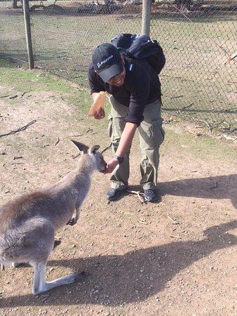 Cowes, Australien: Feeding the Kangas.