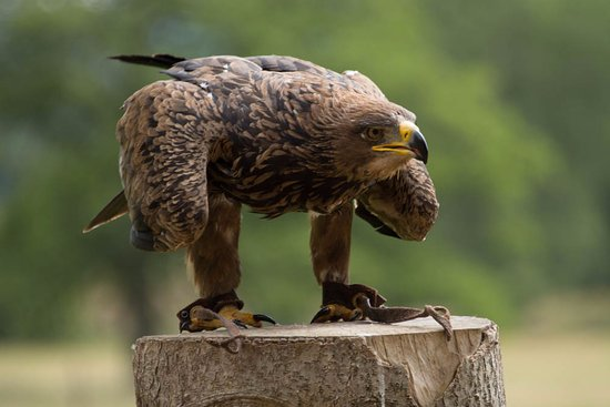 (11) Likes | Tumblr | African crown, Falconry, African ...  |African Crowned Eagle Falconry