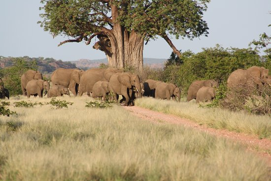 Musina, Güney Afrika: Elephants crossing road near Kaoxa Bush Camp