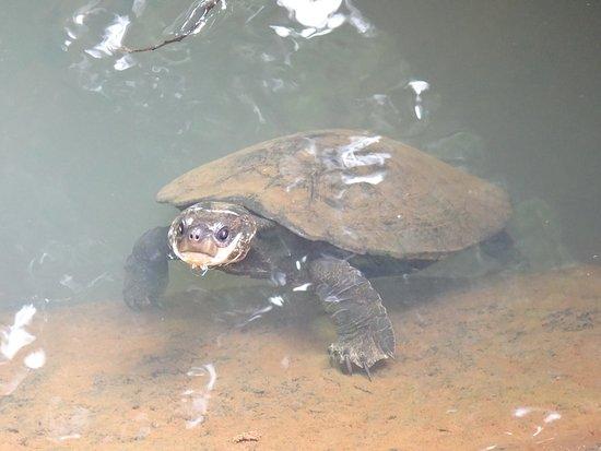Atherton, Australia: Turtle waiting to be fed