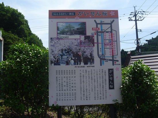 Gaisenzakura