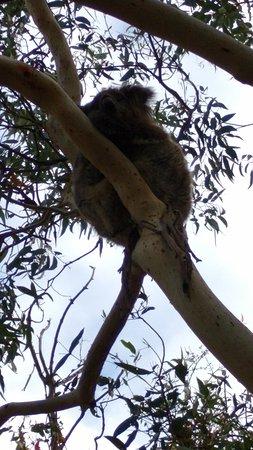 Cowes, أستراليا: Koala