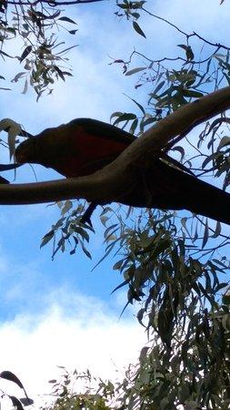 Cowes, Αυστραλία: Parrot