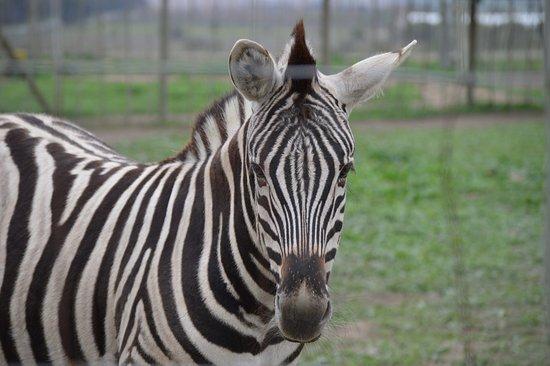 Giraffe House Wildlife Awareness Centre: zebra