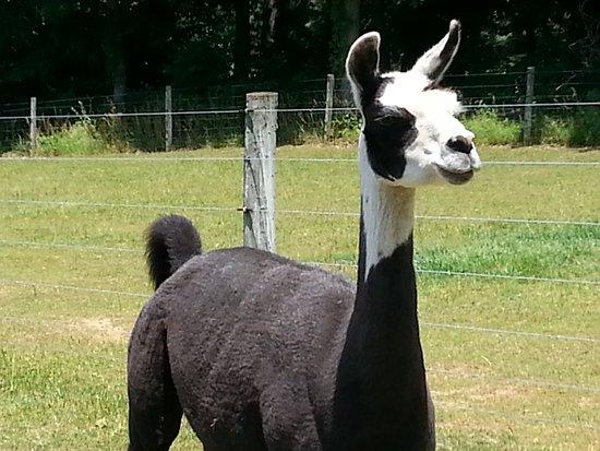Hackettstown, Nueva Jersey: Llama will protect the Alpaca