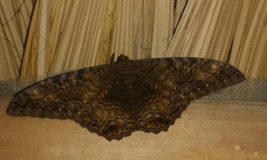 Punta Gorda, Belice: A beautiful moth