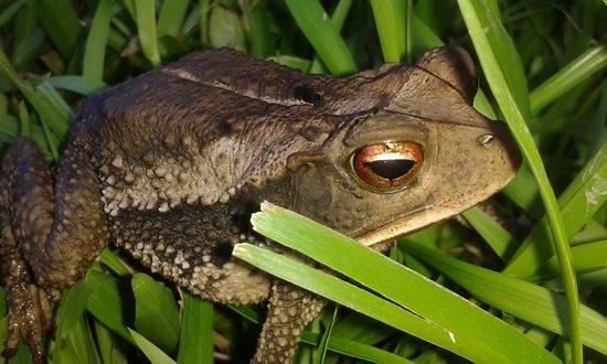 Punta Gorda, Belice: A Frog