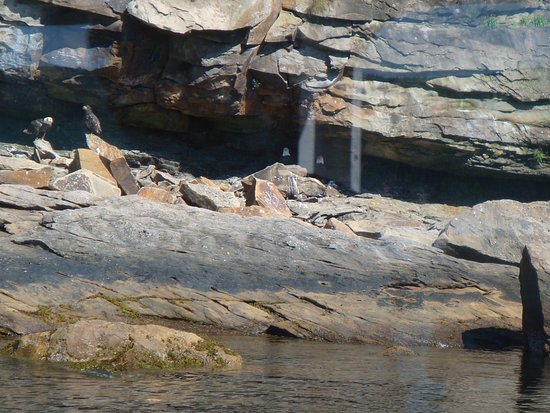 Big Bras d'Or, Canadá: Some of three dozen or more eagles on the islands.
