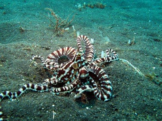 Kungkungan Bay Resort: Mimic octopus
