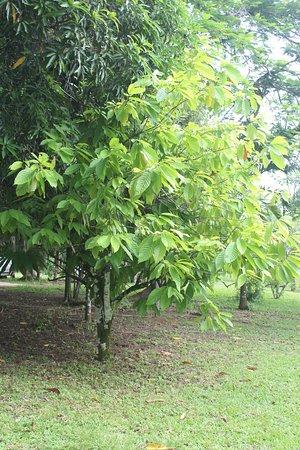Πούντα Γκόρντα, Μπελίζ: Cacao Tree