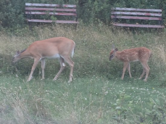 Blacks Harbour, Kanada: Deer in back garden