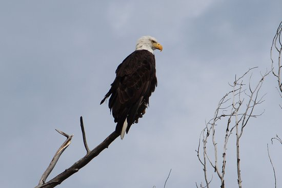 Dave Hansen Whitewater and Scenic River Trips: 1 of the 10 bald eagles we saw on our trip