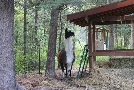 Historic Tamarack Lodge: Star, the guard Llama