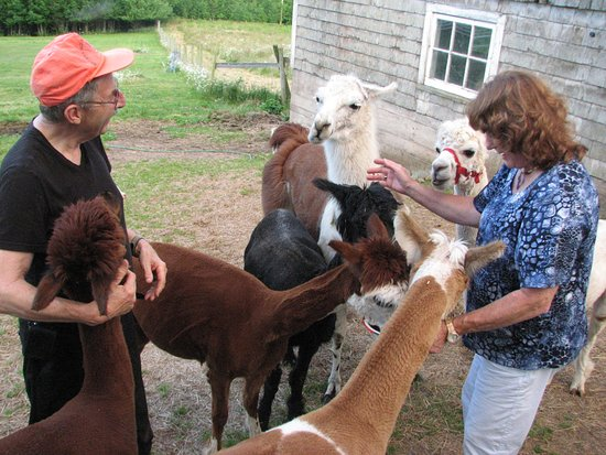 Azelia Farmhouse B & B: Al and his alpacas