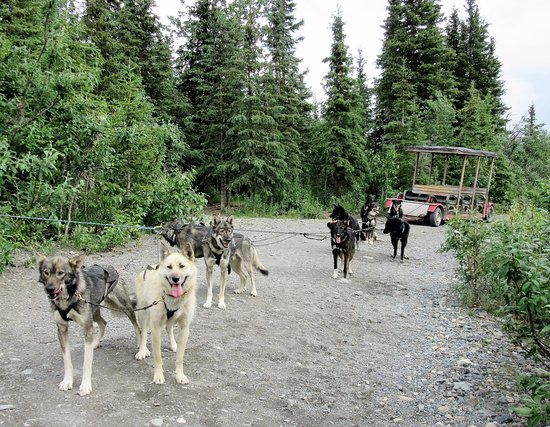 Cantwell, AK: Wildthingz Dog Mushing, June 2016
