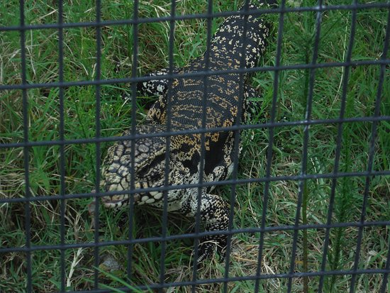 Bastrop, Техас: Lizard with the bone and muscle wasting disease