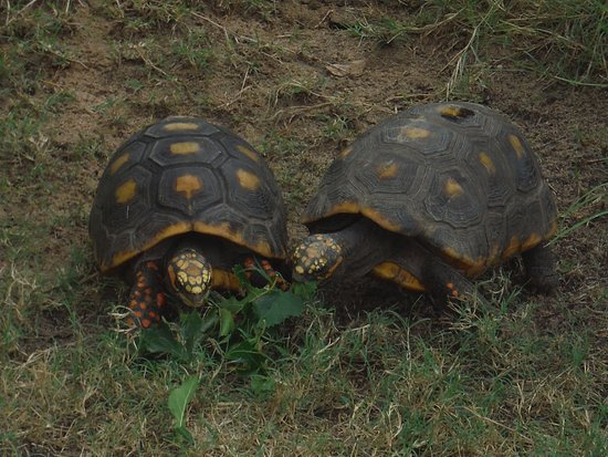 Bastrop, Техас: 2 of the 3 turtles named Janet, Chrissy, and Jack after Three's Company