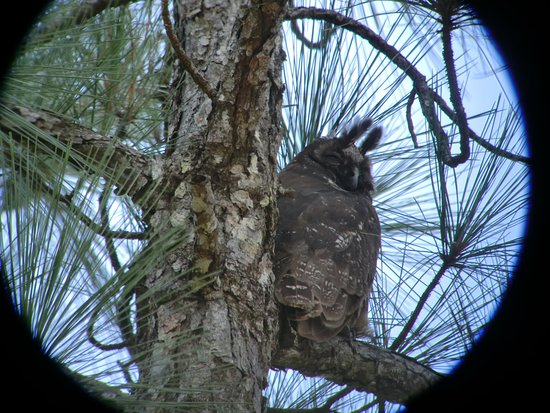 Crystal Paradise Resort: Stygian Owl - From Birding Tour at Mountain Pine Ridge Forest Reserve